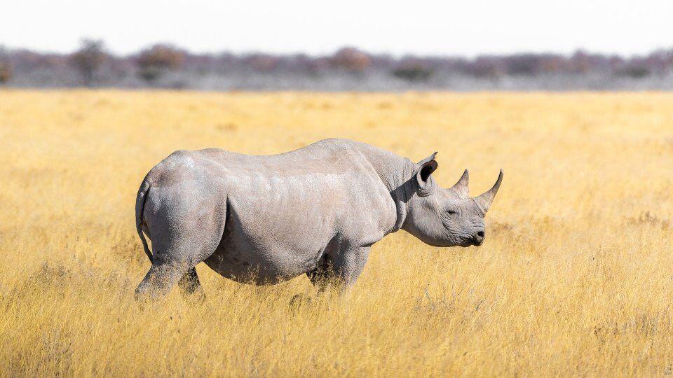 De zwarte en witte neushoorn: verschillen en overeenkomsten
