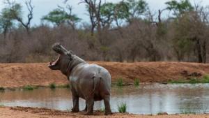 Snelle nijlpaarden