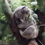 Koala's hebben het zwaar