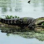 De staart van een alligator groeit weer aan