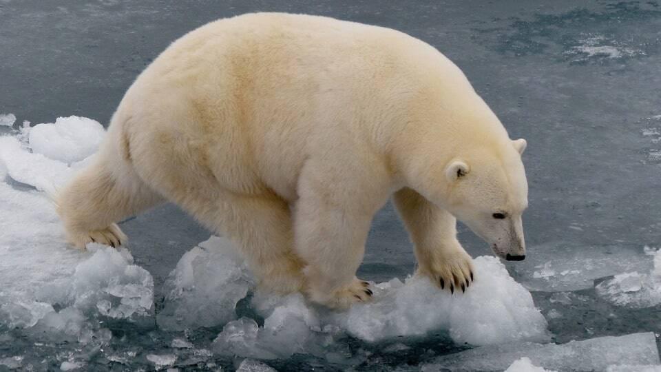 ijsbeer goed aangepast aan omgeving