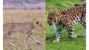 Verschillen tussen cheetah en luipaard