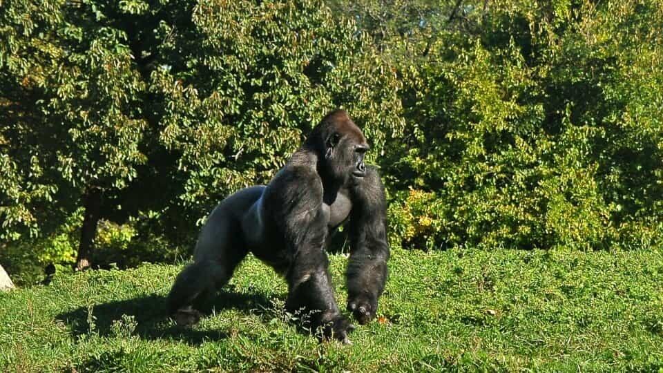Waarom gorilla's zich op de borst slaan